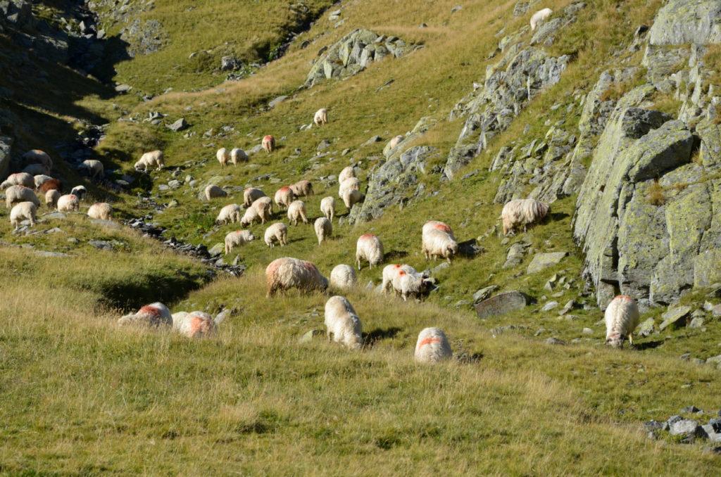 Moldoveanu - owce na zboczach Fogaraszy