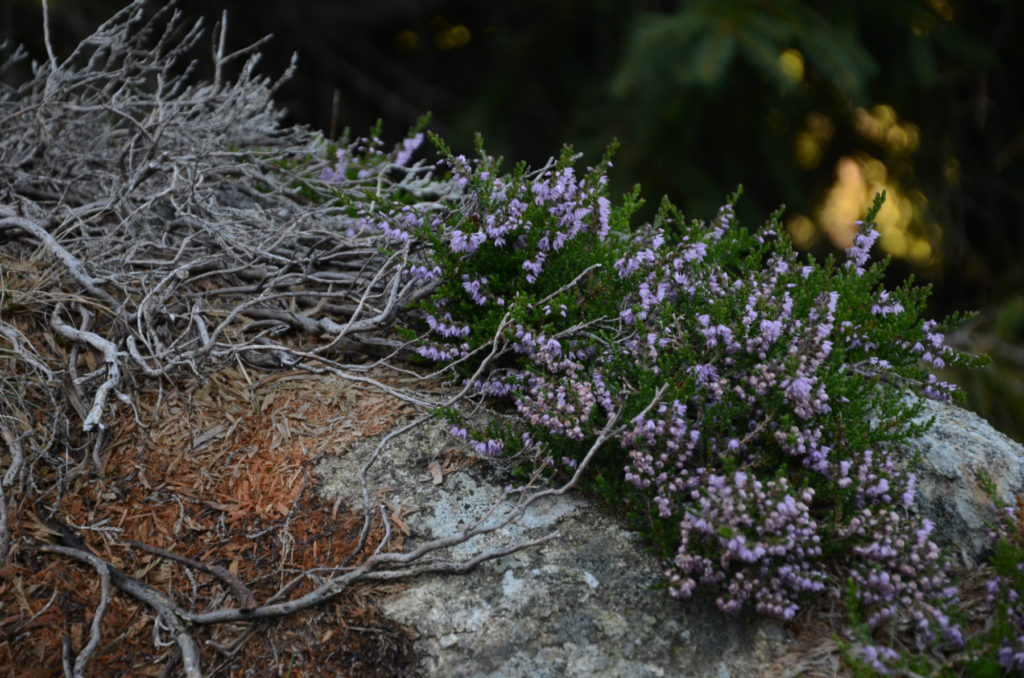 Wrzosy kwitnące na kamieniach przy szlaku do Strzechy Akademickiej