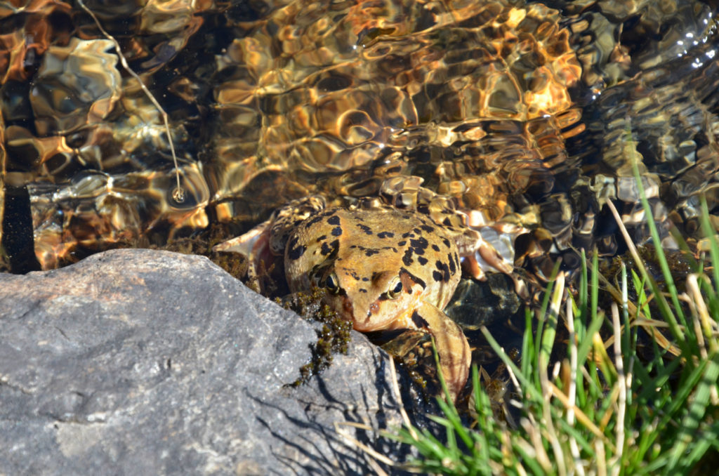 Moldoveanu - żaba na szlaku