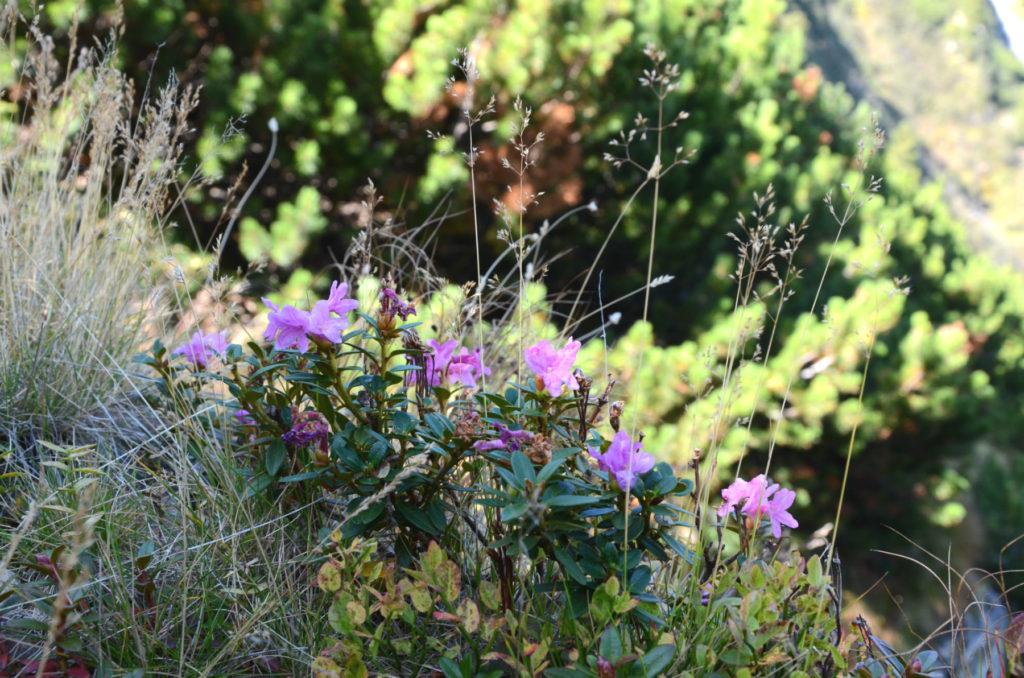 Rododendrony w drodze na Moldoveanu