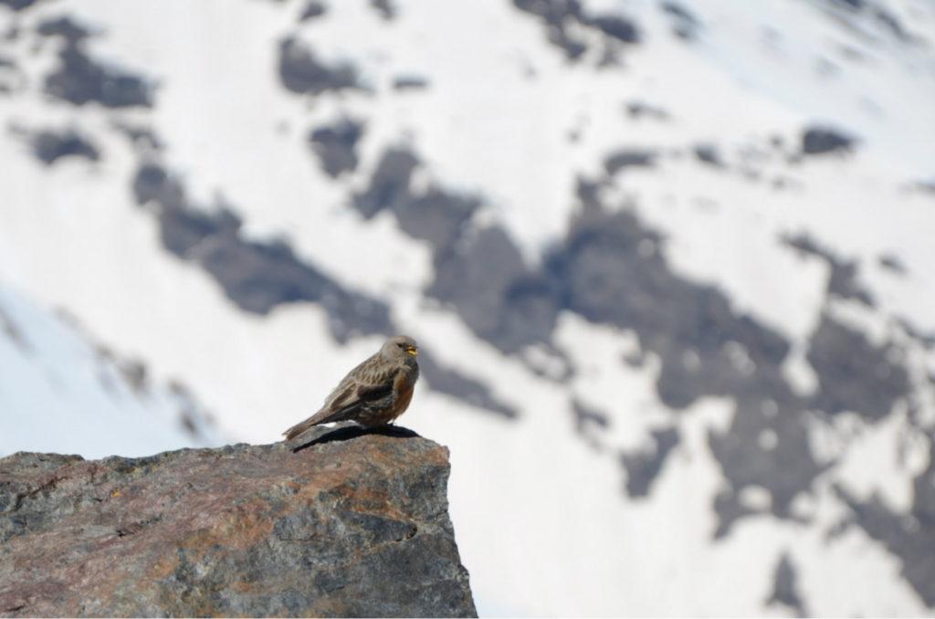 Mulhacén - 'oswojony' ptak na szczycie