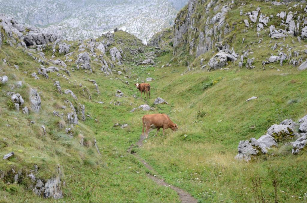 Zla Kolata - Krowy pasace sie w gorach