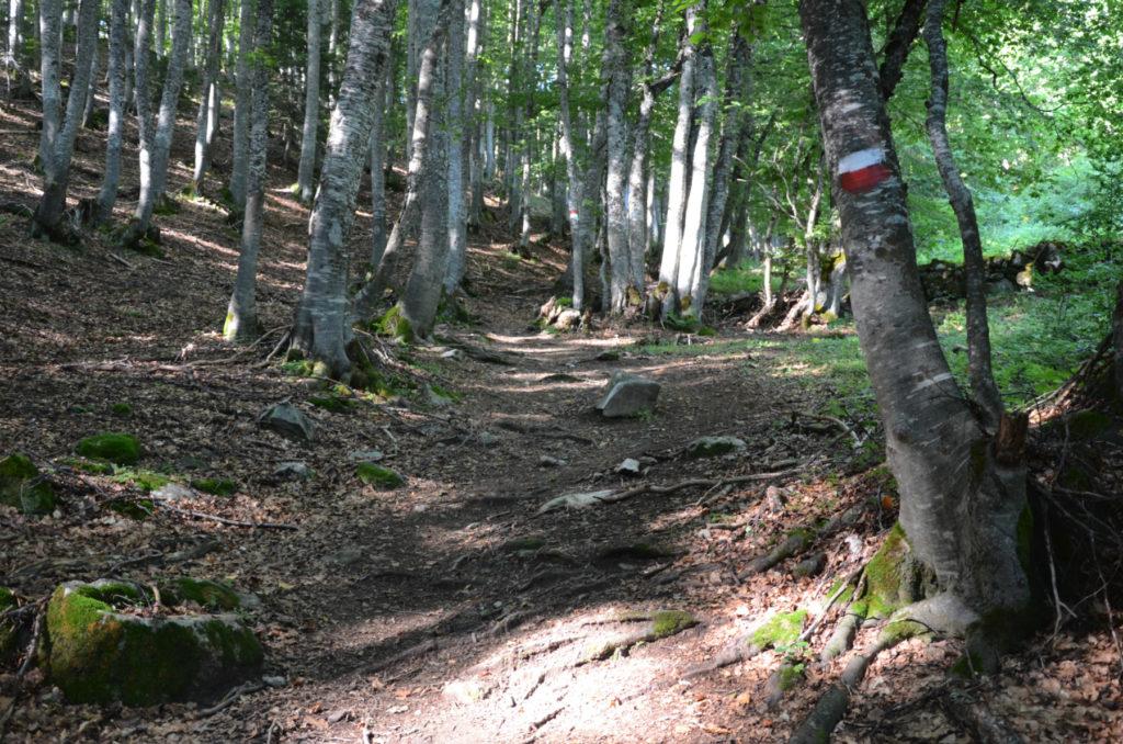 Bukowy las w drodze na Korab
