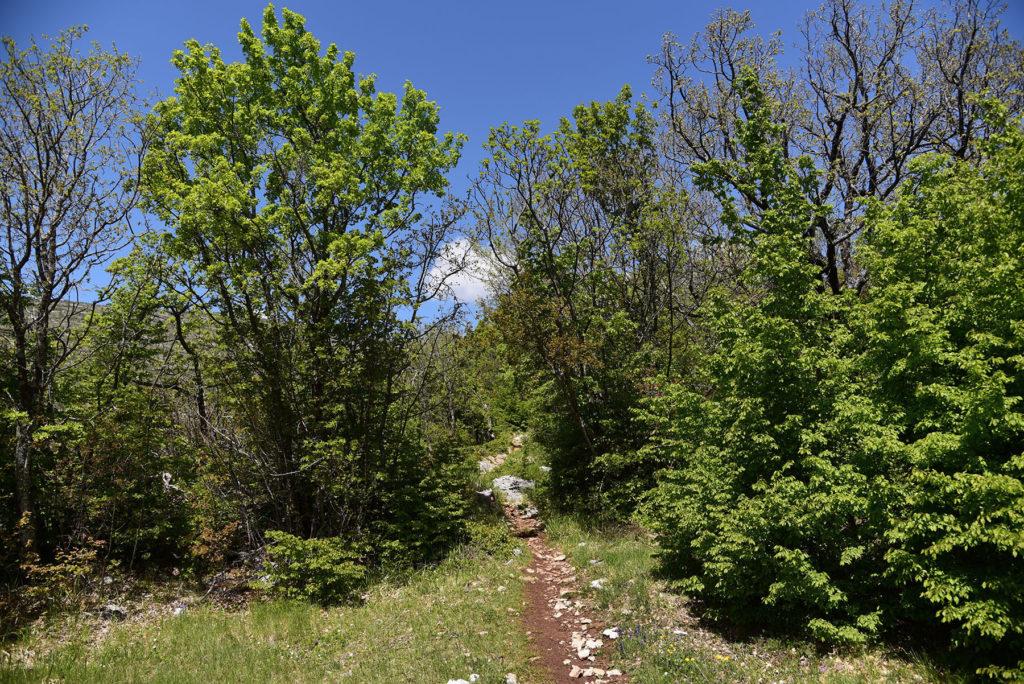 Szlak na Vrh Dinare - dębowy zagajnik