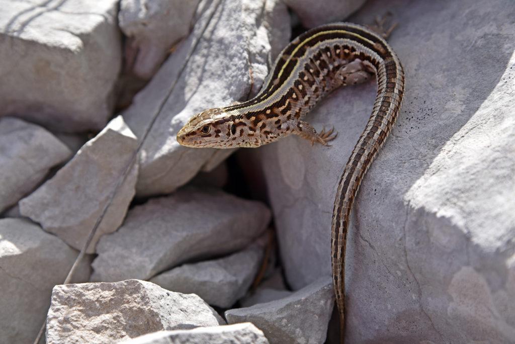 Jaszczurka zwinka na kruchych skałach