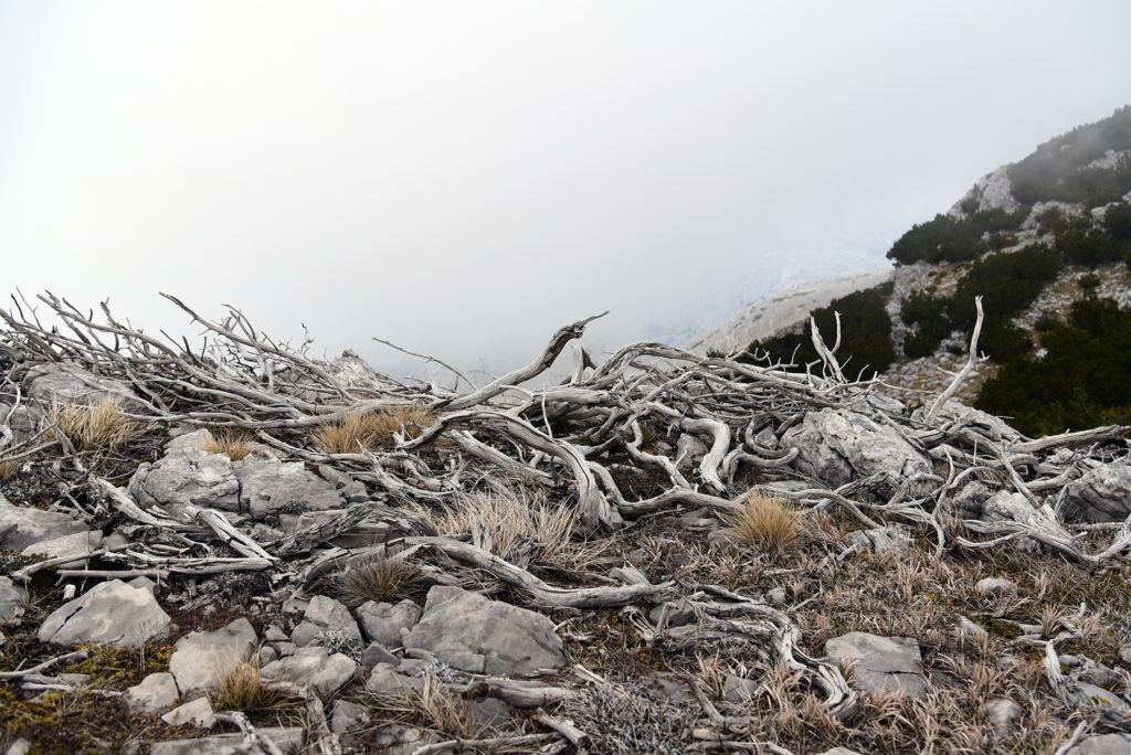 Vrh Dinare - spalona kosodrzewina