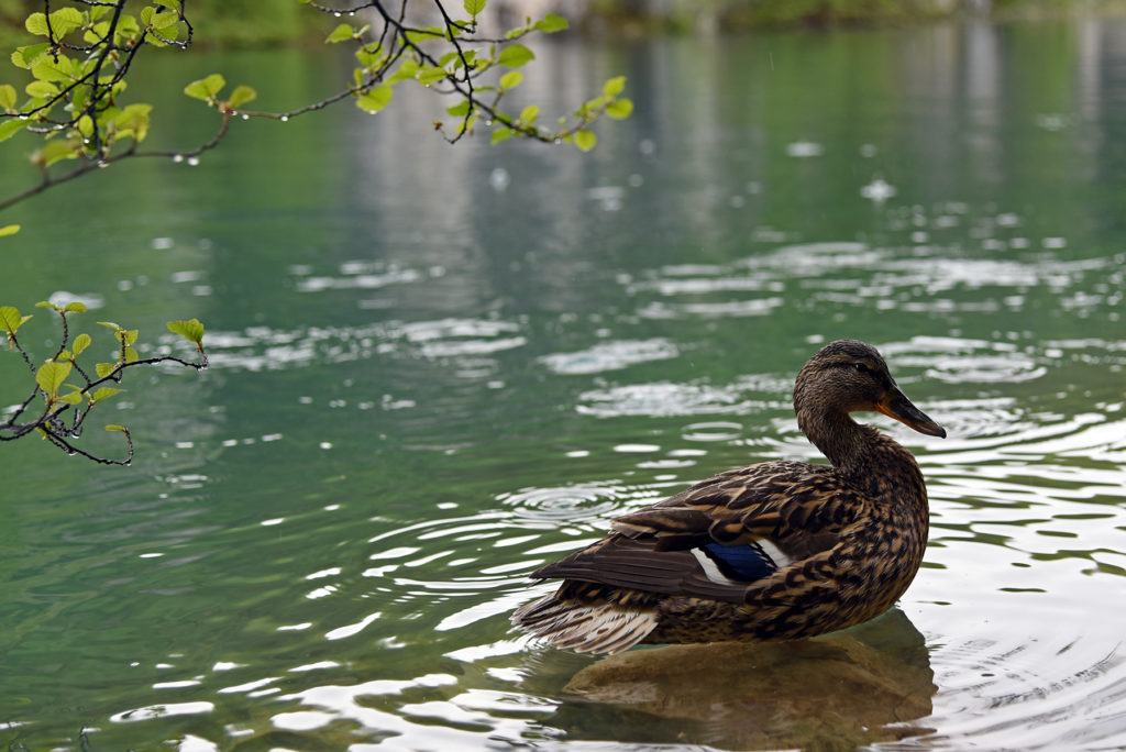 Plitwickie Jeziora - kaczka krzyżówka