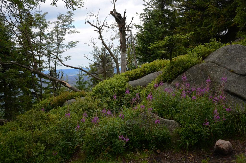 Mała Ostra - zieleń na kamieniach