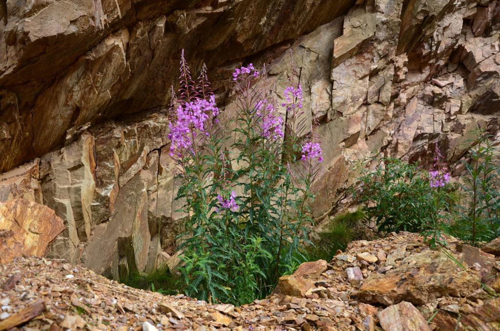 Wierzbówka kiprzyca na skałach kopalni kwarcu Stanisław