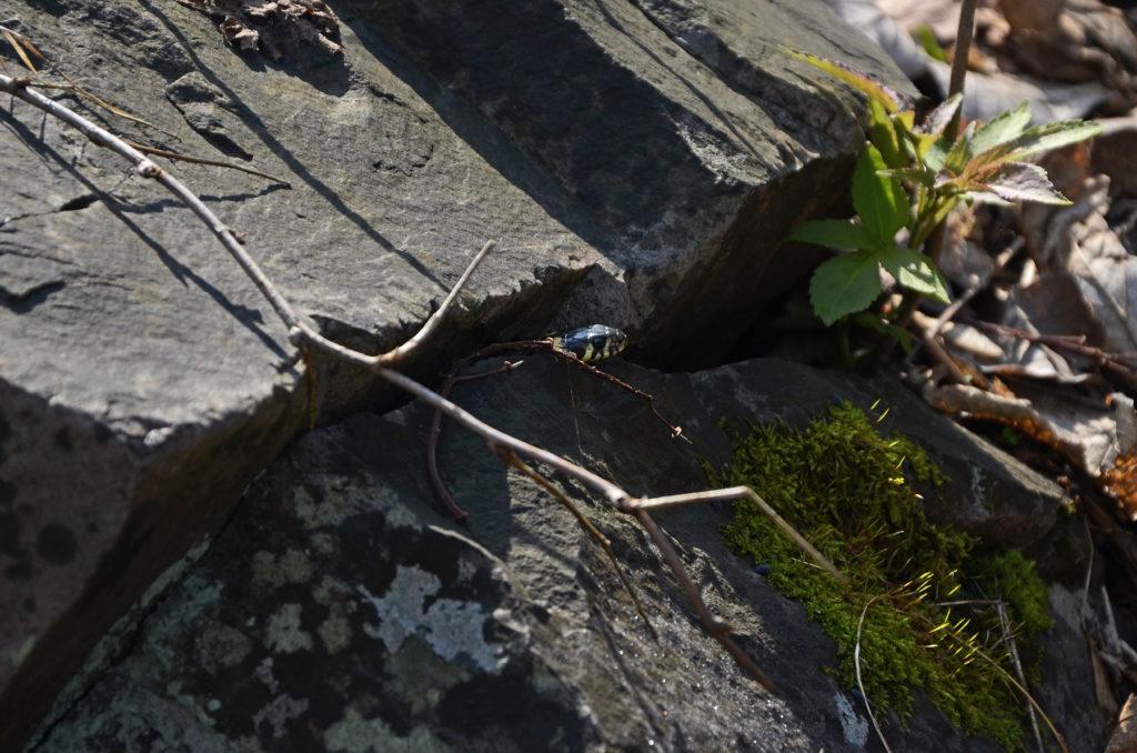 Zaskroniec schowany pomiędzy kamieniami na Łysicy