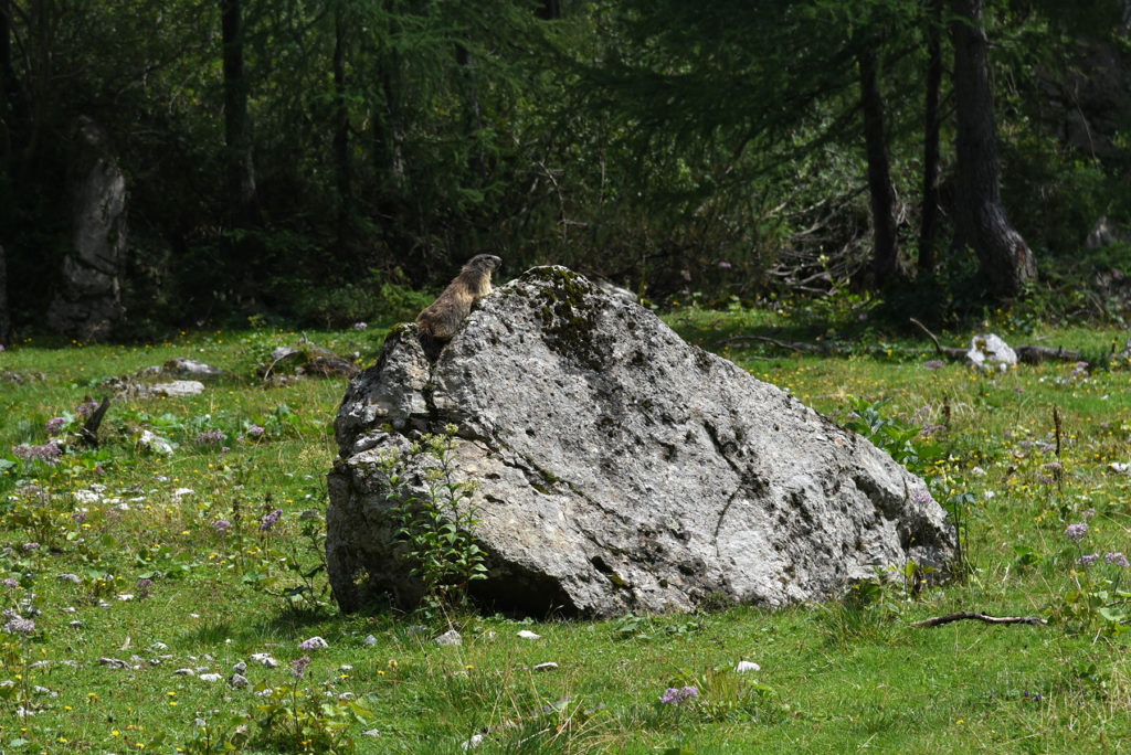 Świstak na kamieniu w drodze powrotnej z Triglava