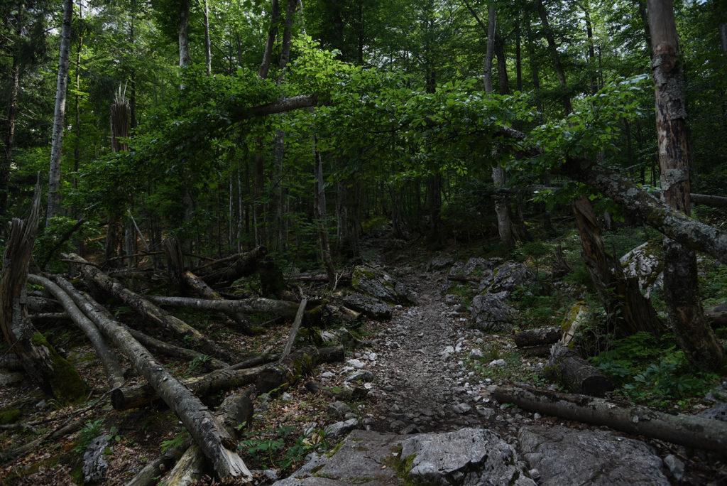 Drzewo nad ścieżką - szlak na Triglav