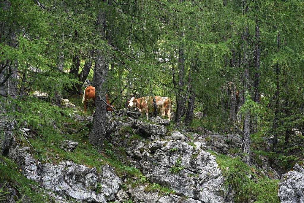 Krowy na wysokości - okolica Pastreskiej Chaty