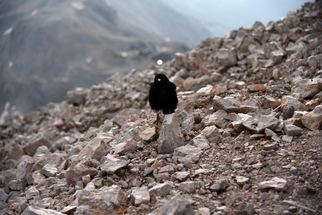 Wieszczek na szczycie Triglava